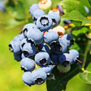 Blueberry fields at the Farm at Pine Forest of Oak Island